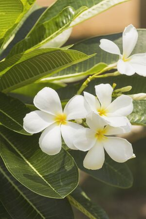 Plumeria flowers in the garden.
