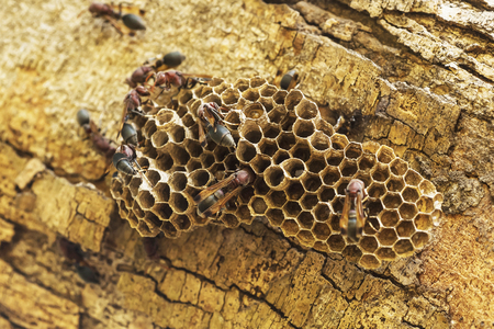 The insects are wasps make their nests on trees.