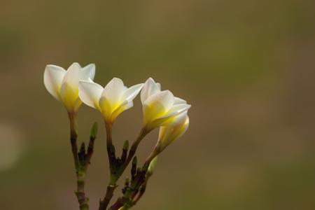 Plumeria flowers in the garden.
