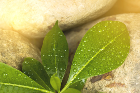 Water droplets on a green leaf background brown stone.