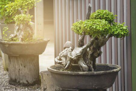 Dwarf bonsai trees grown in terracotta pots.
