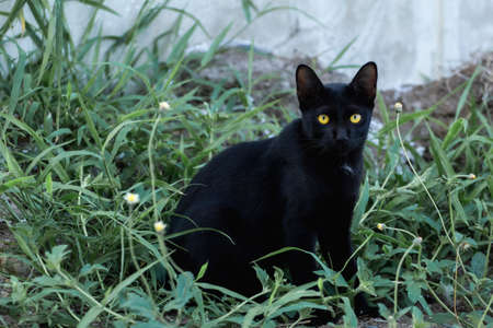 The young black cat has yellow eyes in the grass.
