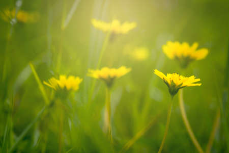 Golden light in the morning with yellow flowers with green background of the plants.
