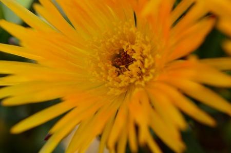 Yellow Ice Plant bloom - selective focus Фото со стока