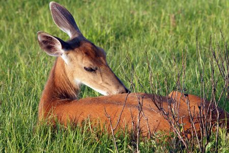 A Dear in Shenandoah National Park grooming themself Reklamní fotografie