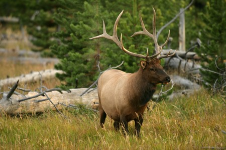 Bull Elk in Yellowstone National Park in Wyoming Stock Photo