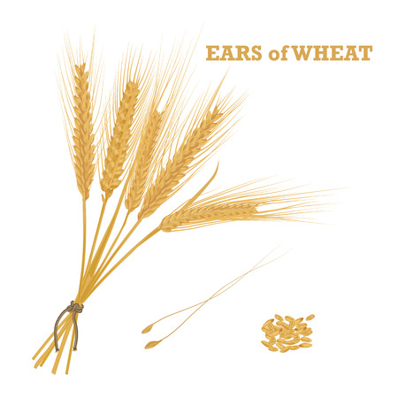 handful: Ears of wheat tied with twine and a handful of grain Vector illustration.