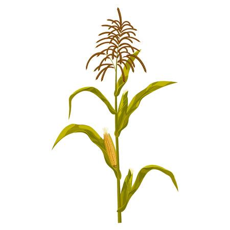 Corn maize vector illustration. Realistic hand drawn botanical isolated illustration. Illustration