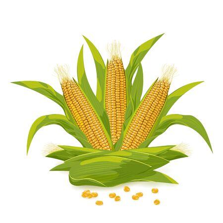 Corn cob and grain vector illustration.