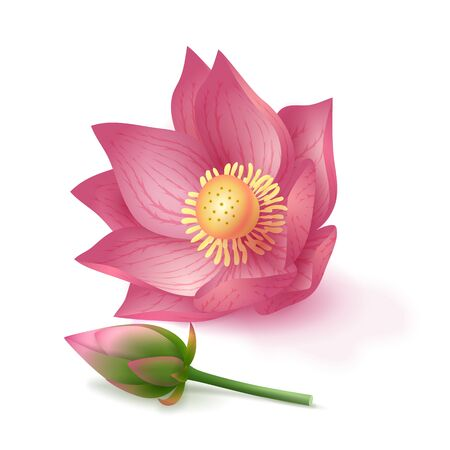 Lotus flower and bud on pink background.