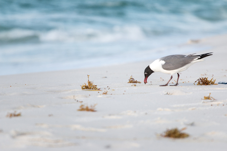 A seagull looking for food on a sandy beach.
