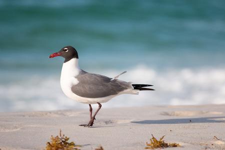 Seagull walking on a white sand beach with the ocean in the background.