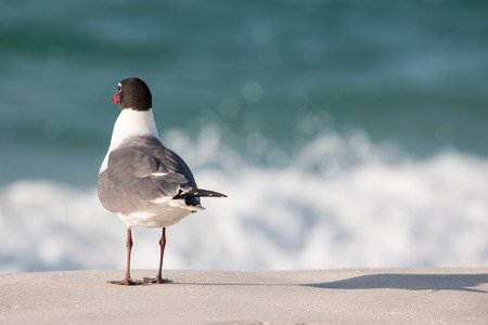 Seagull bird on the beach looking at the waves. Stock Photo