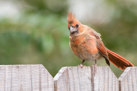 Baby Cardinal bird on a wooden fence. Stock Photo - 77671402