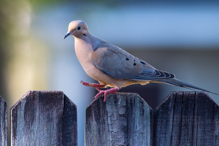 A mourning dove walking on a fence.