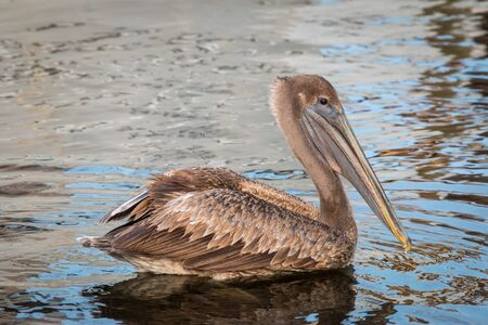 Brown Pelican swimming in the water.