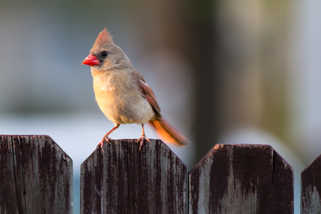 Cardinal bird on a fence. Stock Photo