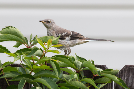 Mocking bird on fence with vines.
