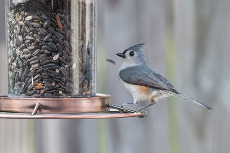 Tufted Titmouse bird eating seed from a bird feeder.