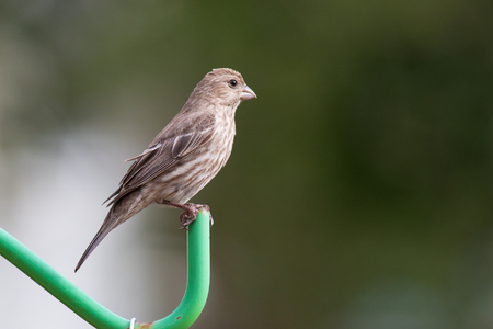 House finch bird on a pole.
