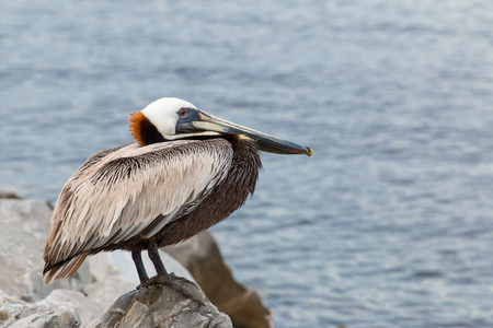 perched: Brown Pelican perched by the sea shore.
