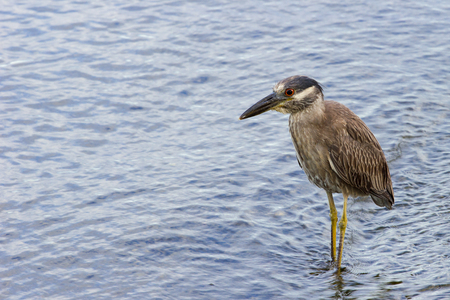 Night Heron wading in the water.
