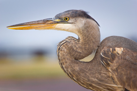 Great blue heron in profile. Stock Photo