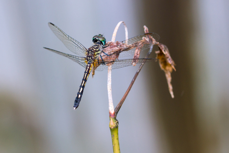 Dragonfly on a branch with out of focus background. 版權商用圖片