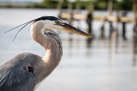 Great blue heron in profile at the waterfront.