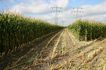 friesland: partly harvested cornfield with power lines in Leeuwarden  Friesland   Stock Photo