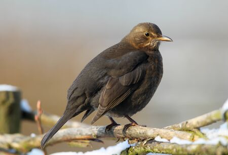blackbird Turdus merula  in a winter garden  photo