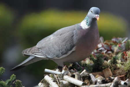 wood pigeon(Columba palumbus)  Stock Photo - 14944317