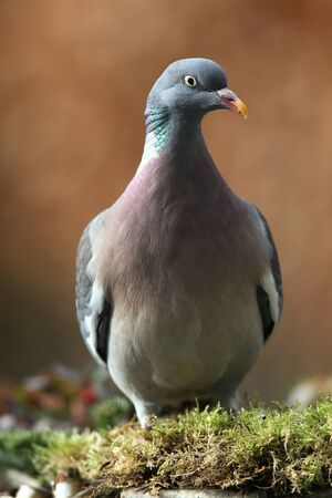 wood pigeon(Columba palumbus)  photo