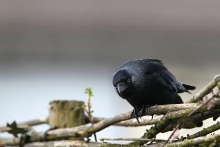jackdaw: jackdaw  corvus monedula  sitting on a fence