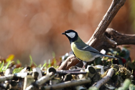 great tit  Parus major  in a garden  photo