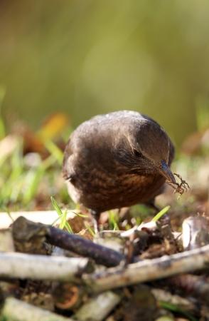 blackbird: blackbird looking for nesting materials in spring  Stock Photo