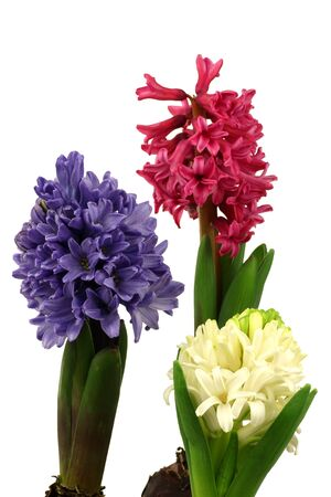 colorful flowering hyacinths on a white background  photo