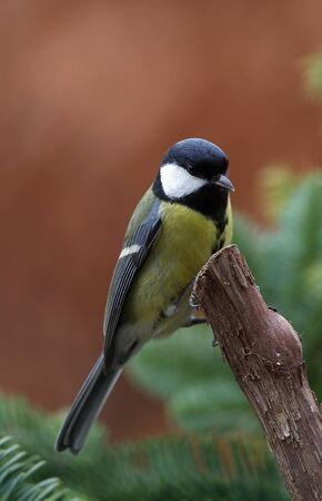 great tit  parus major  sitting on a branch  photo