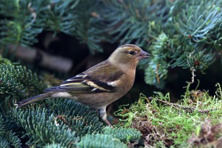 chaffinch  Fringilla coelebs  feeding photo