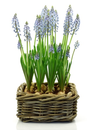 willow fruit basket: flowering common grape hyacinths in a woven wicker basket on a white background