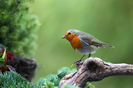 erithacus: Robin  Erithacus rubecula  sitting on a branch in a garden in winter  Stock Photo