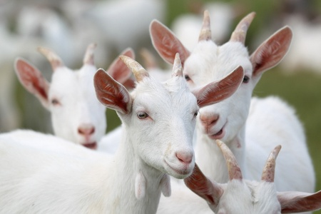 herd: group of white goats
