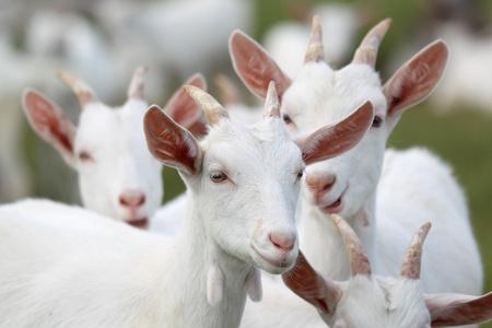 cabras: grupo de cabras blancas