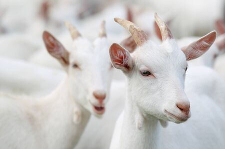 group of white goats  photo