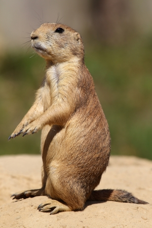 characteristic: cute little prairie dog in characteristic posture on sandy patch
