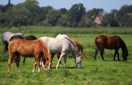 horses grazing on a pasture in Friesland Holland