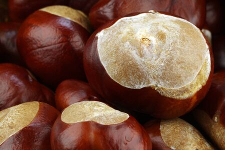 background of freshly fallen chestnuts Aesculus hippocastanum   photo