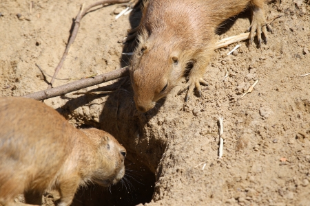 burrow: two prairie dogs at the entrance of their burrow