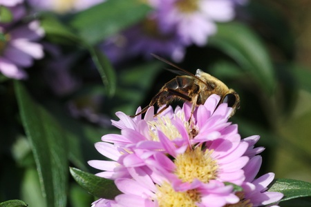 bee feeding on plant  photo