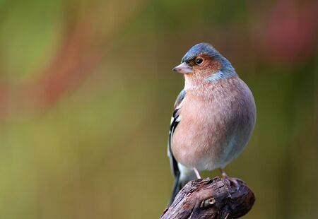 chaffinch  Fringilla coelebs  feeding in a garden in winter photo